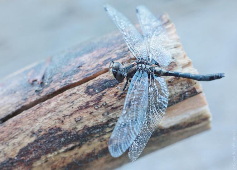 Killarney Dragonfly.jpg