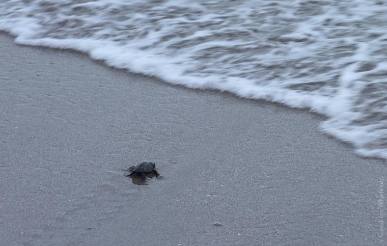 montezuma-turtles-2
